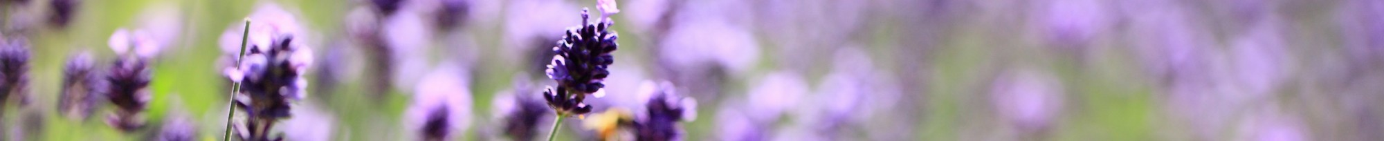 cropped-lavender-lavender-lilac-purple-flowers-field-meadow-close-up-blurred.jpg