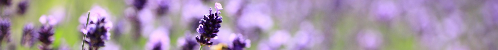 cropped-lavender-lavender-lilac-purple-flowers-field-meadow-close-up-blurred12.jpg